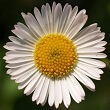 Closeup square photo of a white-petaled daisy on green background facing viewer. The daisy is the symbol of the Philosophy of Happiness book.