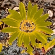 Manipulated closeup photo of a yellow daisy flower showing yellow and grey petals on marbled blue, purple, black, and beige. background