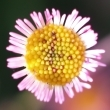 Close-up photo of a pink budding daisy facing the viewer.