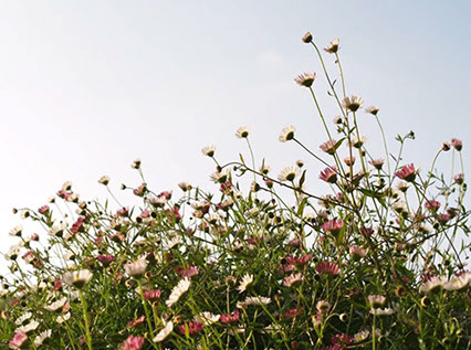 Side view photo of mound of white & pink daisies, repeated in an insert of a 5-minute introductory video about the Philosophy of Happiness book.